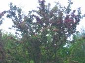 Biancospino rosso (raro)